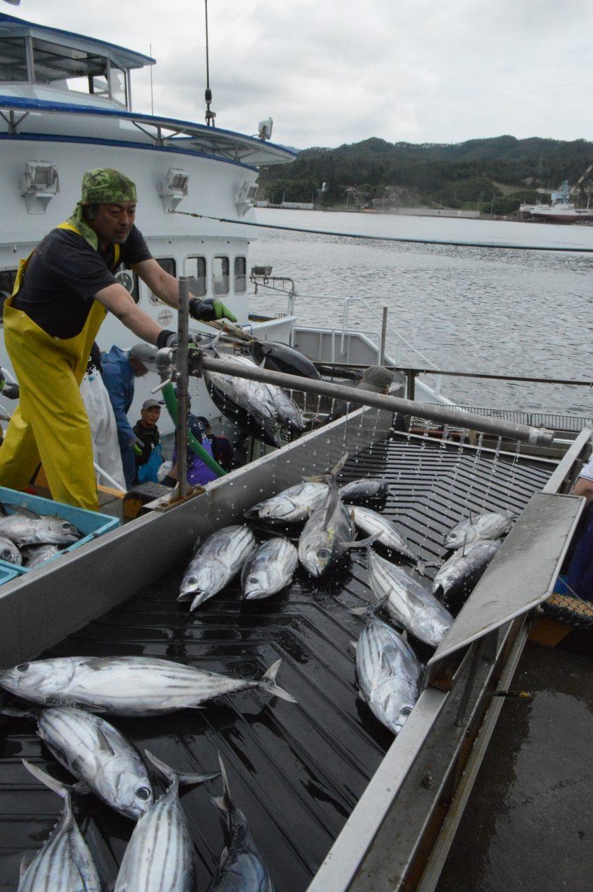 気仙沼魚市場に揚がったカツオ
