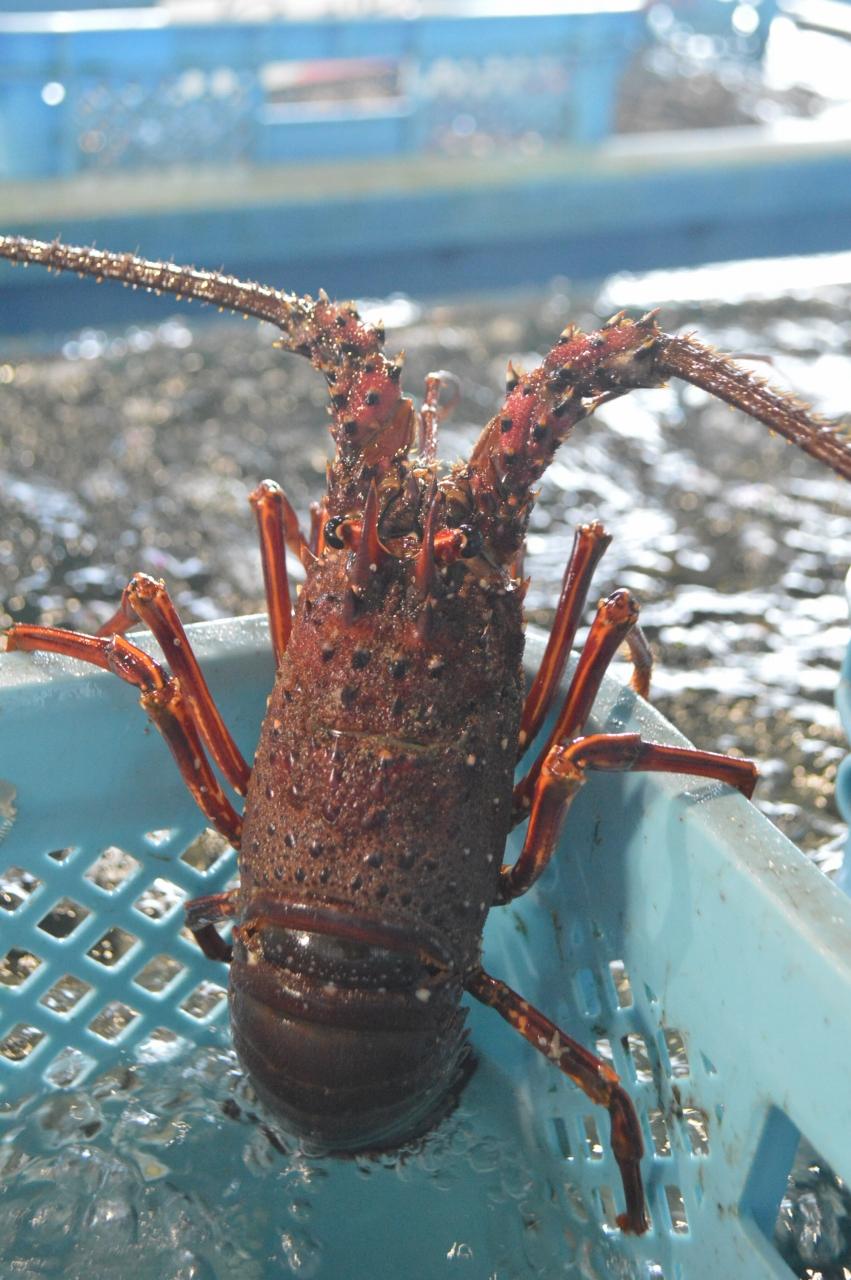 気仙沼魚市場に揚がったイセエビ