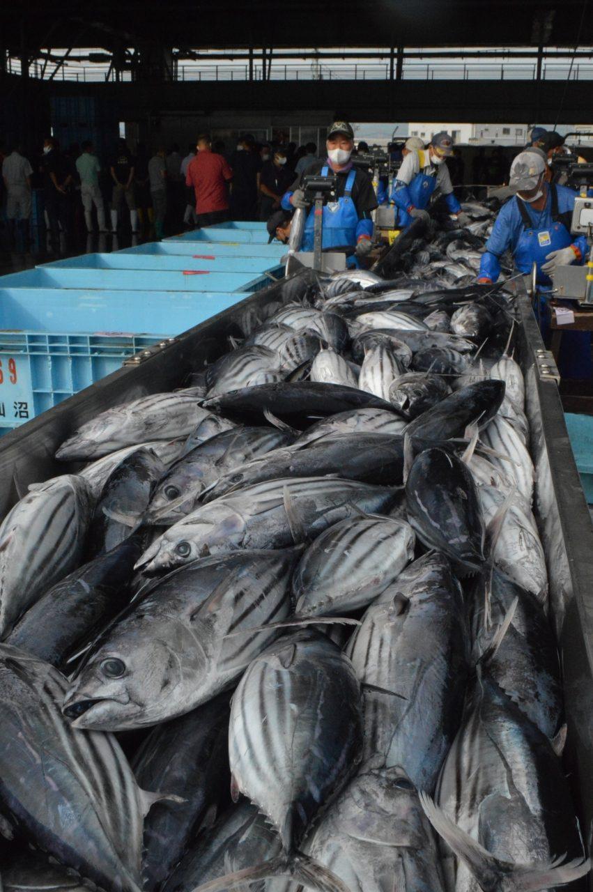 震災後最多の水揚げとなった生鮮カツオ