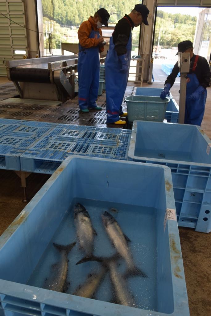 厳しいスタートとなったサケの刺し網漁