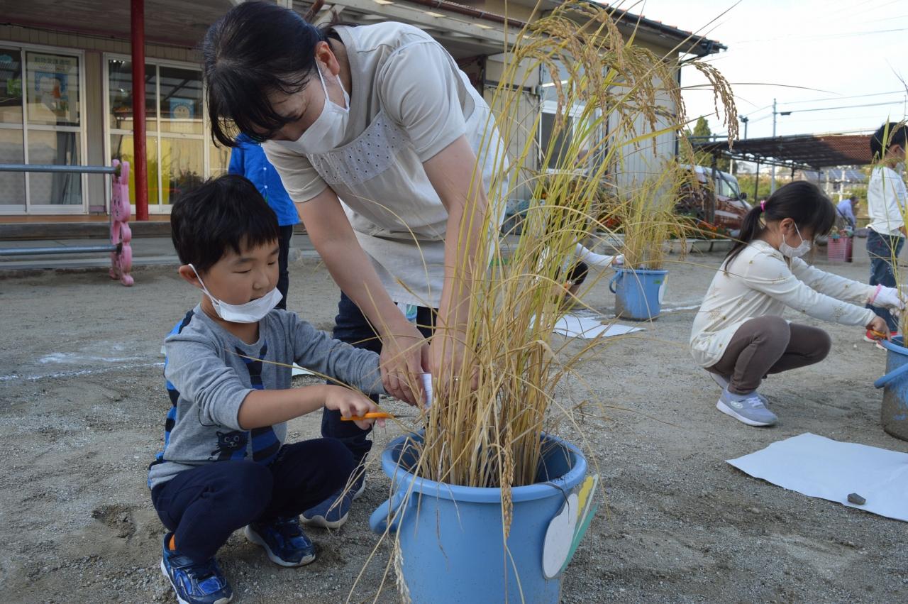 「バケツの稲」を収穫